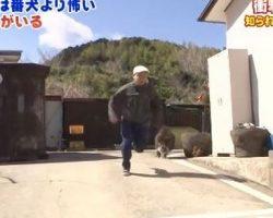 Japanese Warthogs Make Better Guard Dogs